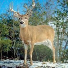 licks Homemade molasses deer