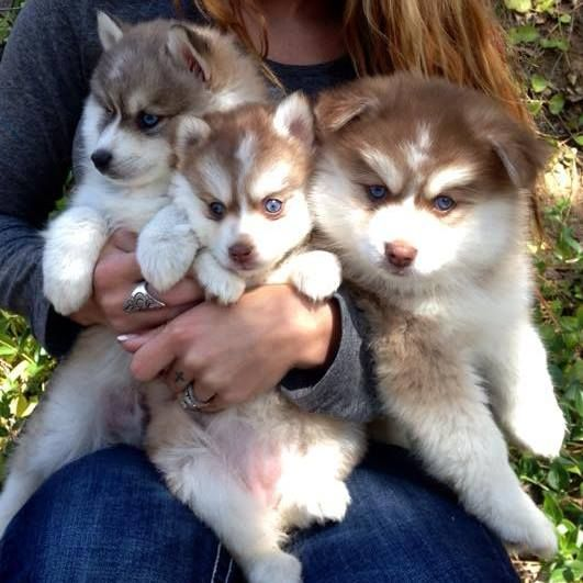 Pomsky 50 Husky 50 Pomeranian Puppies For Sale With Images