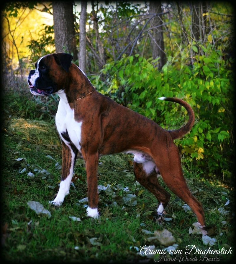 Havenwoods Boxers Top Quality Akc German And American Boxers Based In Central Ohio Show Quality Working German Box Boxer Dogs Boxer Puppies Boxer Dogs Funny