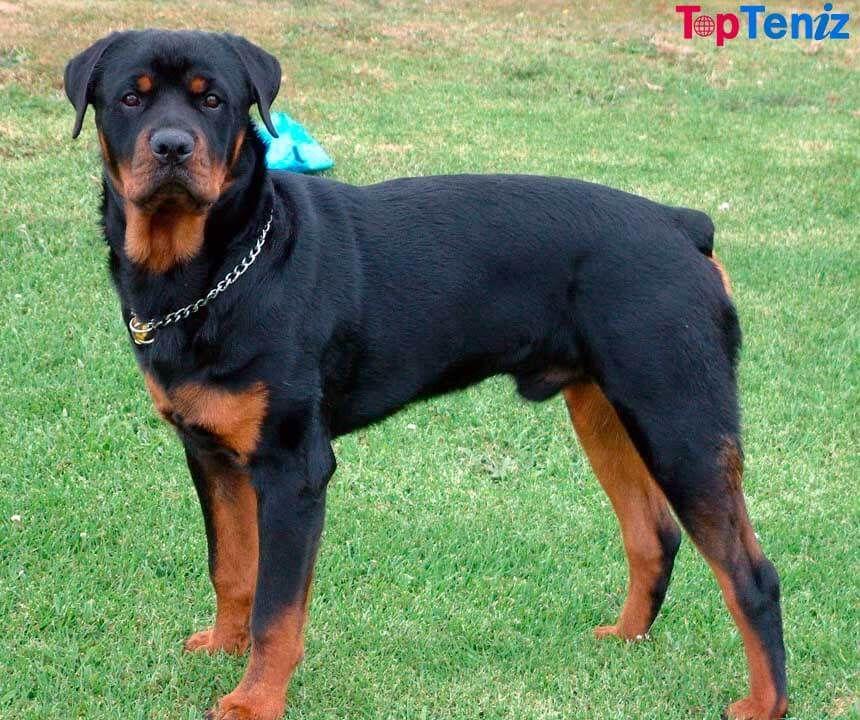 Top 10 Best Police Dog Breeds In The World Topteniz Police Dog Breeds Dangerous Dogs Aggressive Dog Breeds