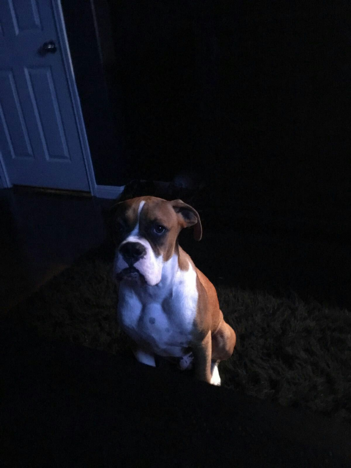 serious boxer! Boxer, Dogs, Animals