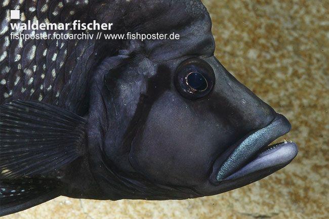 "Altolamprologus calvus ""Black"" Männchen"