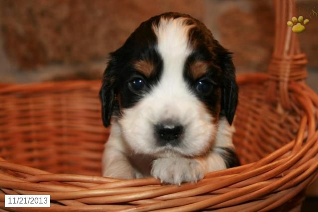 English Springer Spaniel Puppy For Sale Springer Spaniel Puppies English Springer Spaniel Spaniel Puppies For Sale