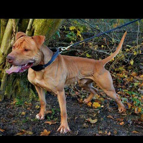 Nice Apbt With Images Pitbull Terrier American Pitbull