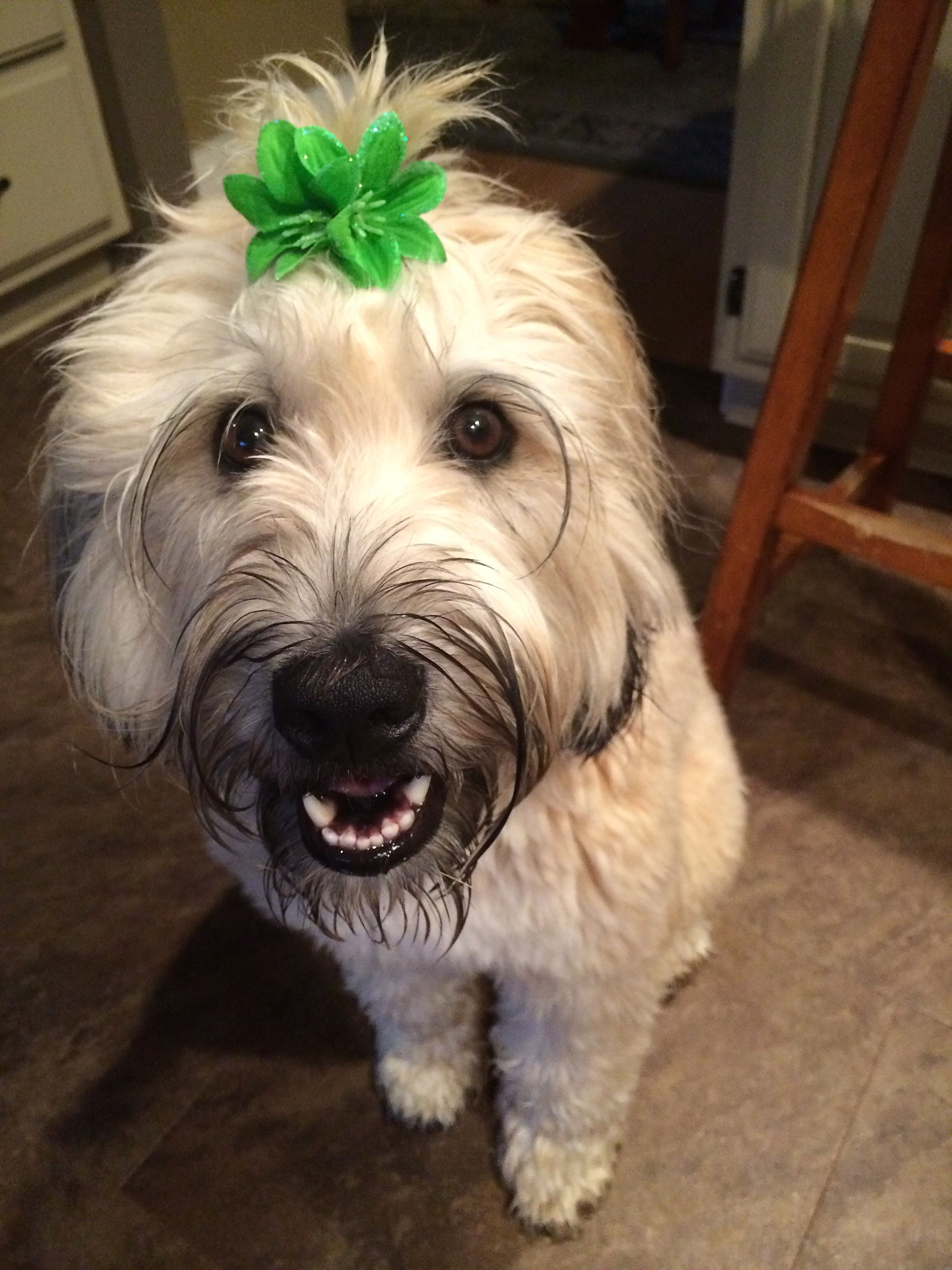 soft coated wheaten terrier puppies for sale uk