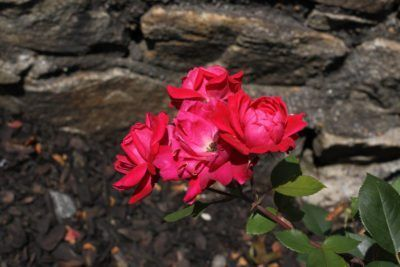 Knock Out Roses For Zone 9 Tips For Growing Knock Out Roses In Zone 9 Gardens is part of Rose garden Decor - Zone 9 is the hottest zone in which some Knock Outs can grow, while others can grow in zone 10 or even 11  So, what Knock Out rose varieties can a zone 9 gardener choose from  Click the article that follows to learn more