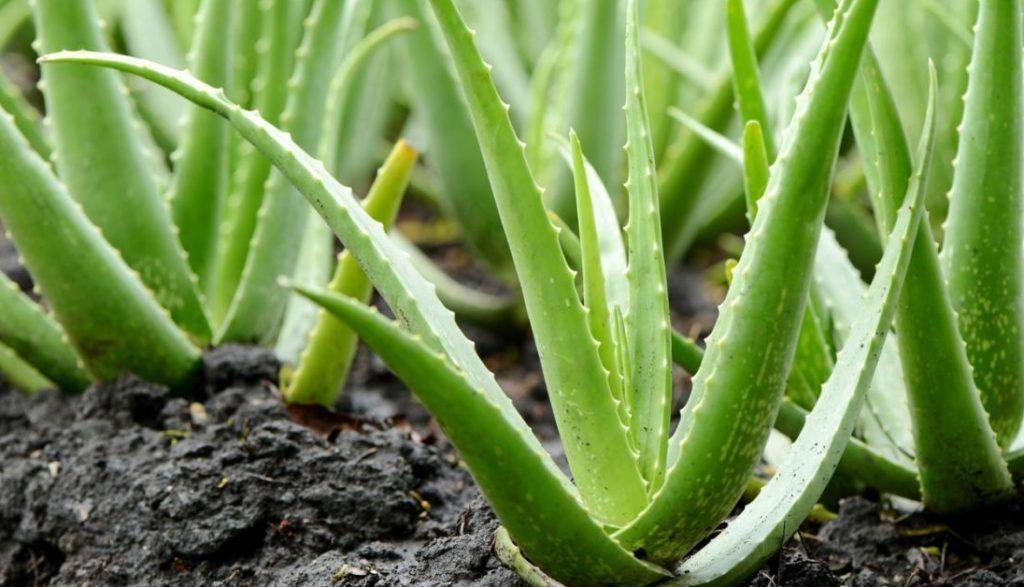 aloe vera plante sår