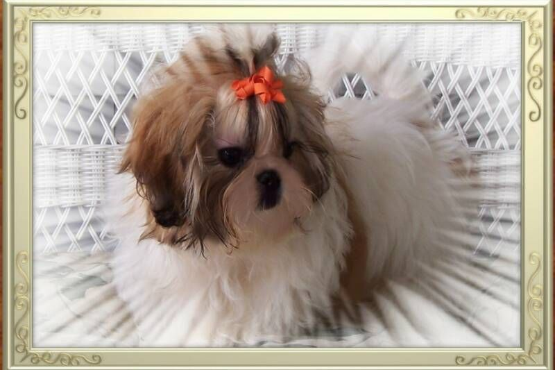 Prada Is An Orange Red White Female Akc Registered Imperial Shih