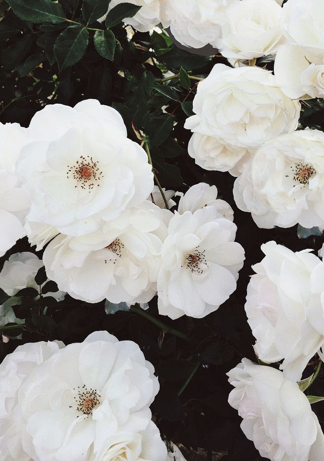 From the weekend spring blooms spring blooms florals and flowers inside surrounded by wads of damp cotton was a white waxy perfect camellia lee 148 symbol the camellia represented ms duboses perseverance to die mightylinksfo
