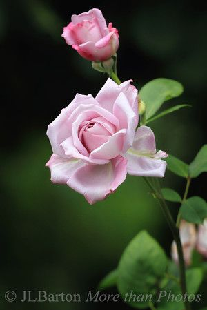 mainzer fastnacht a rose from vienna 39 s rose garden g l pinterest beautiful roses. Black Bedroom Furniture Sets. Home Design Ideas