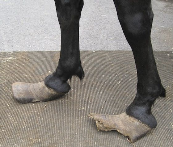 World Horse Welfare Hoof Neglect And Possible Laminitis Horse
