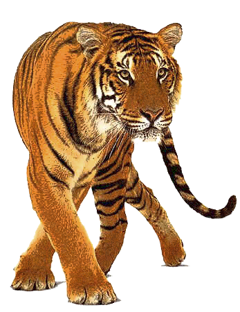 Tiger 2 Png Tiger Images Tiger Pictures Animals Images