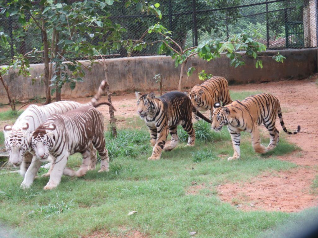 Melanistic tigers of Nandankanan