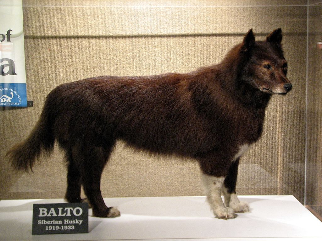 Balto Heroic Siberian Husky Dogs Healthiest Dog Breeds Dog Line