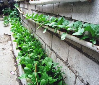 Creative way to grow Chinese cabbage grows in a CFCA