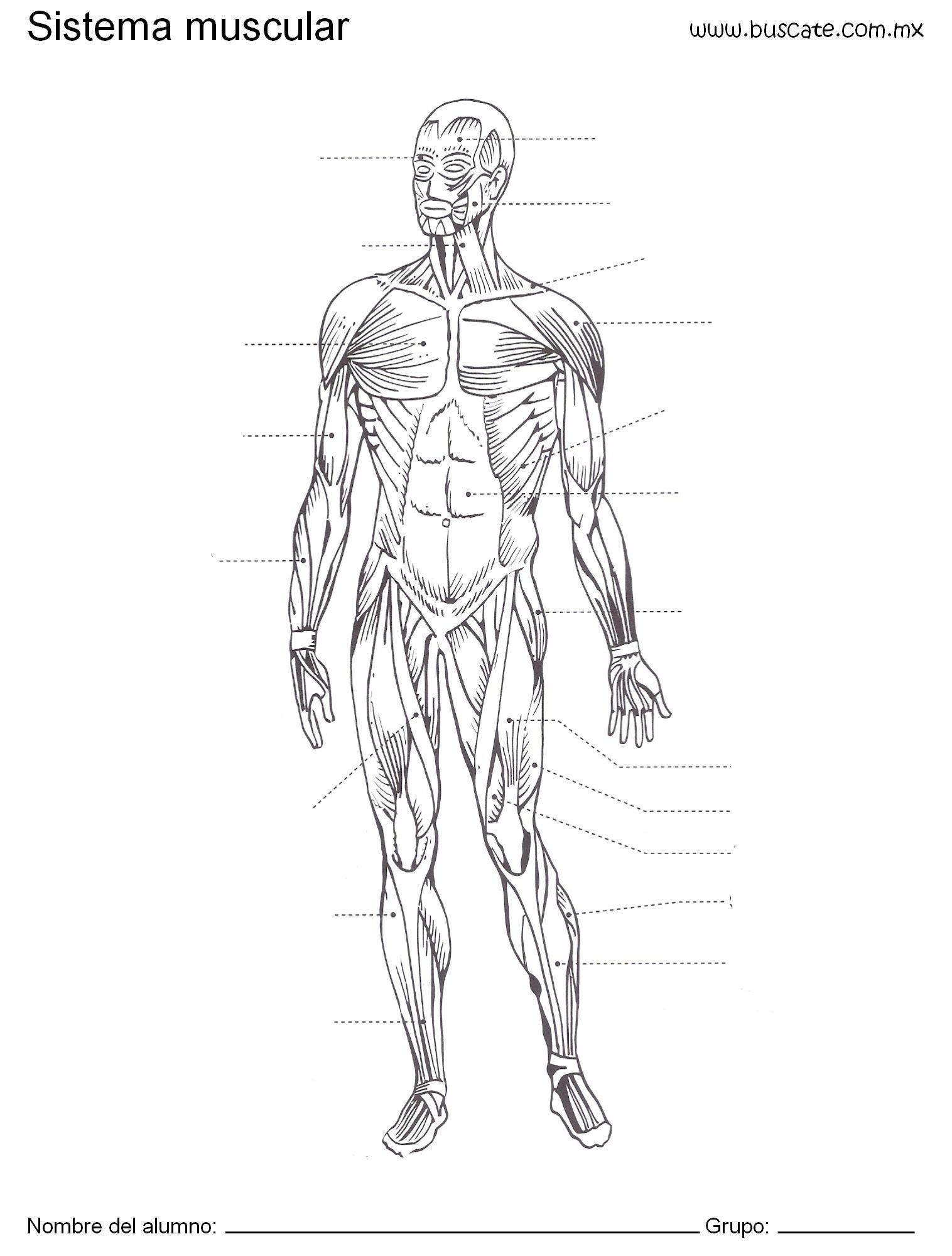 Esquema del sistema muscular humano Sin los nombres de sus partes