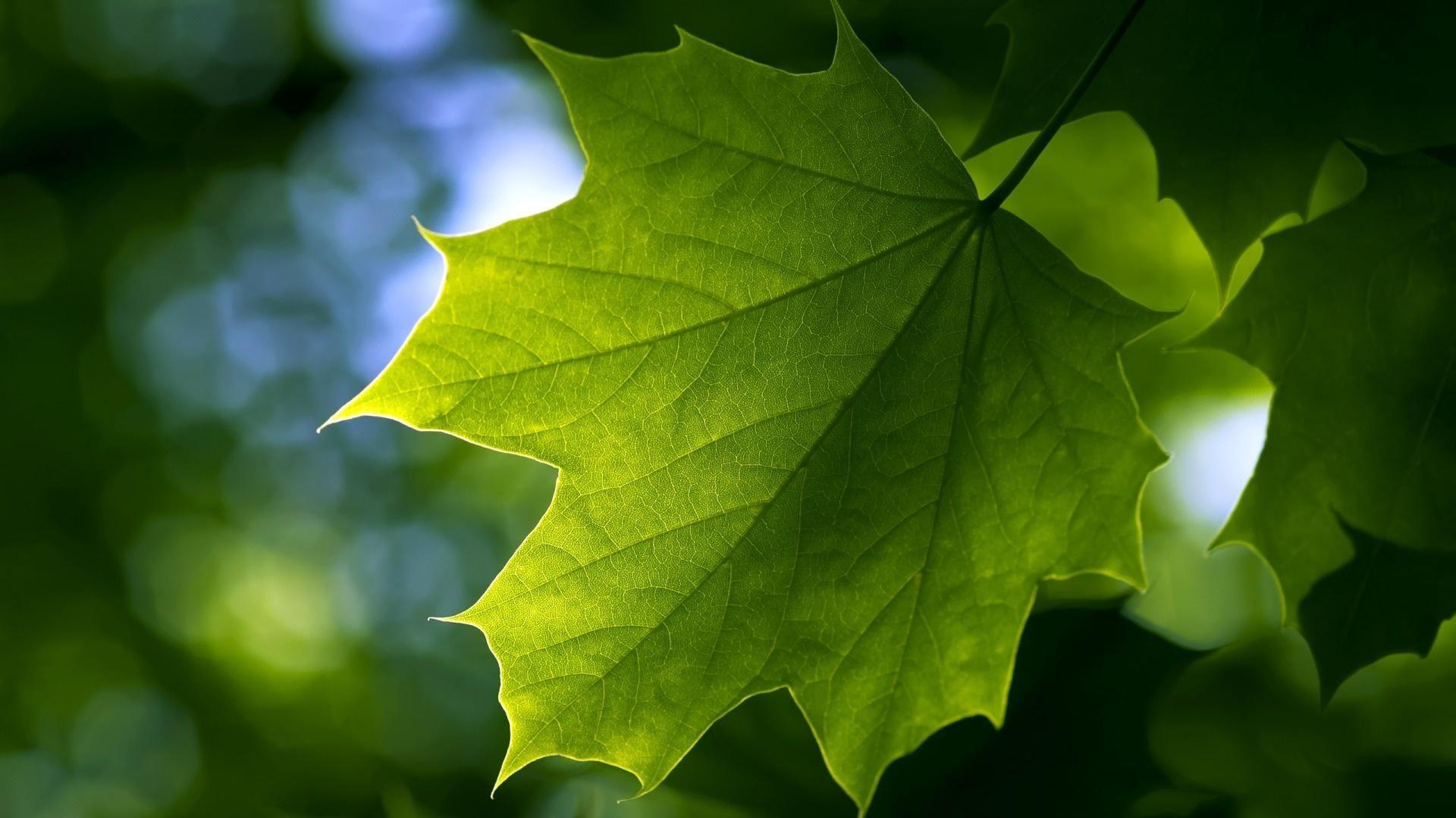 Свежий зеленый кленовый лист на ветви дерева 1920x1080 ...