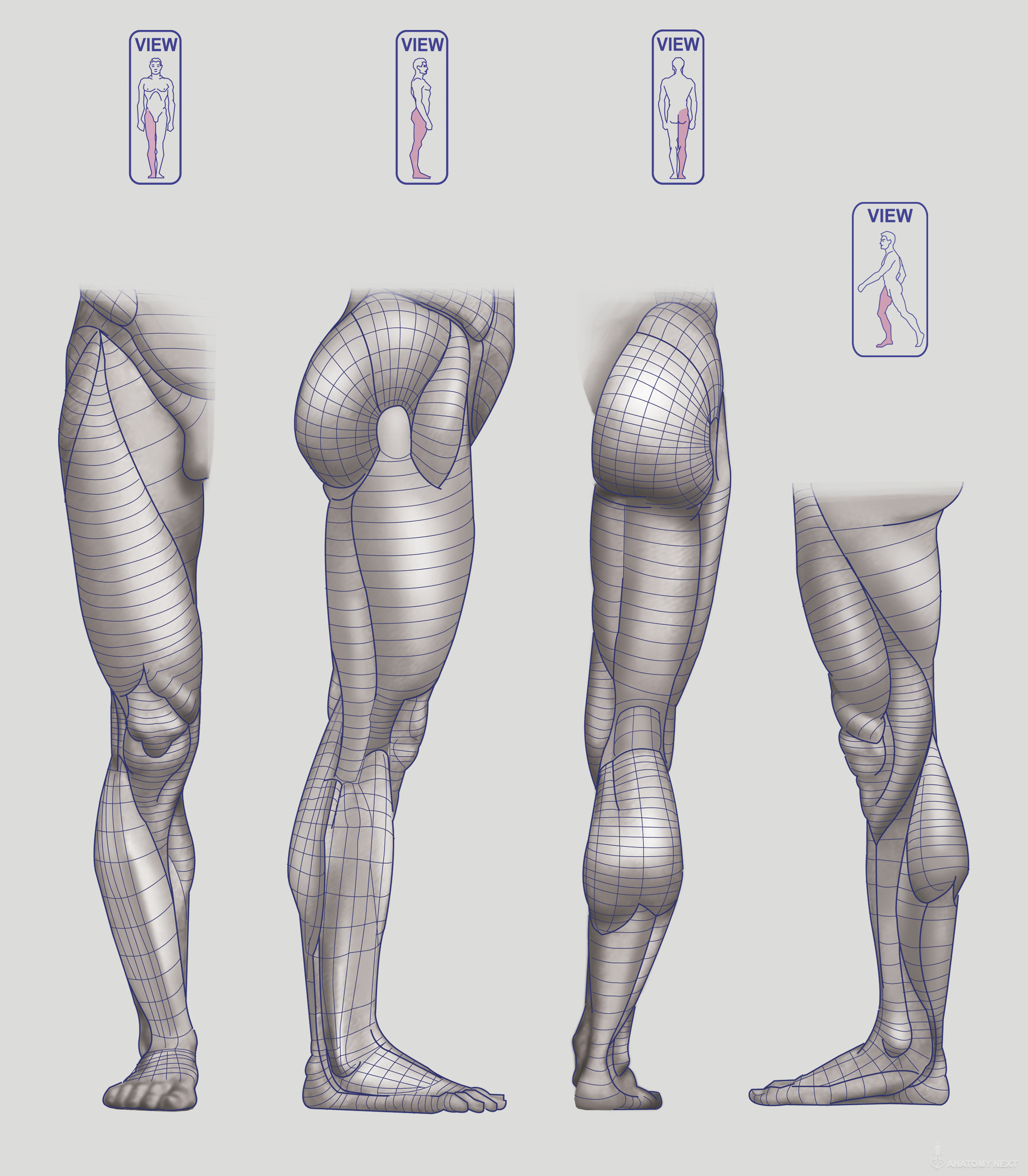 Anatomy Next - Anatomy of Lower limb: Block-outs | Art Reference ...