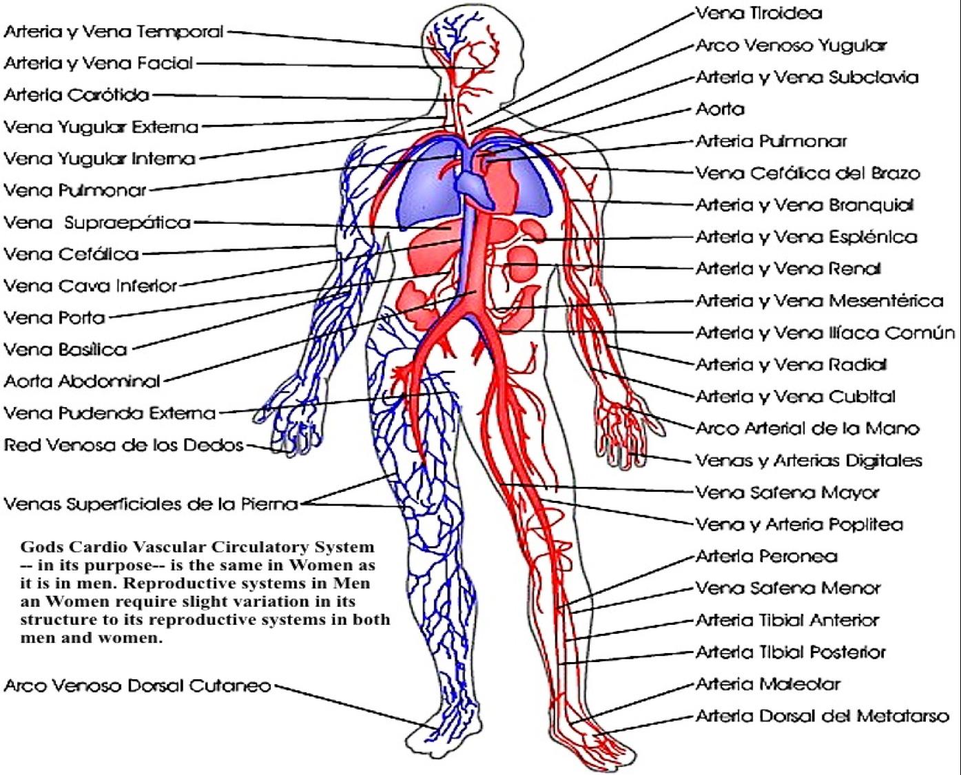 venas y arterias en las piernas