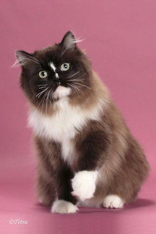 Ragamuffin cat, Ragamuffin kittens, Kitten breeds