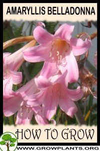 Photo of How to grow Amaryllis belladonna