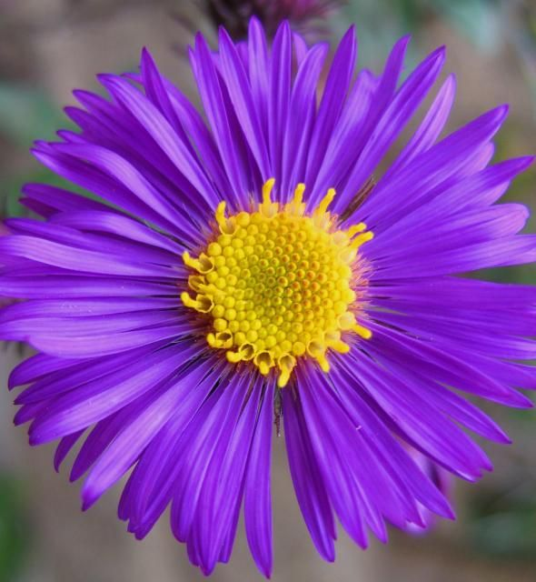Rich Dark Purple Aster Flower Jpg Aster Flower Flower Images Birth Flowers