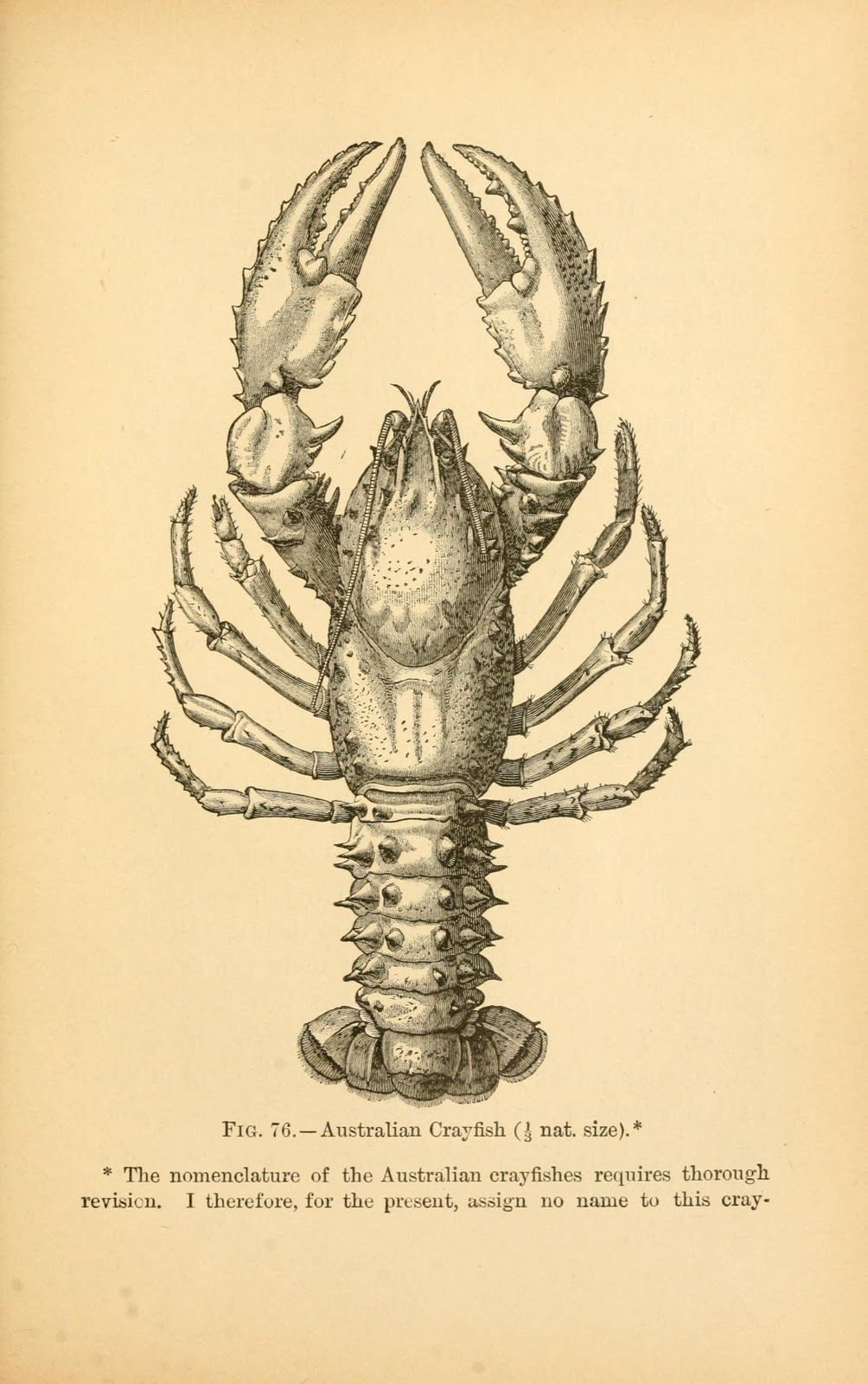 Vintage Ephemera: Book illustration, Crayfish, 1895 | cuadritos ...