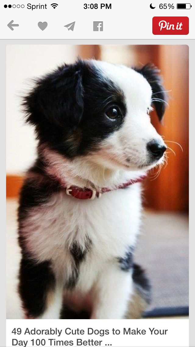 Hey So Were Looking For A Small Puppy That Doesn T Get Very Big And Stays Little We Live In Colorado Springs Super Cute Puppies Cute Baby Animals Cute Animals