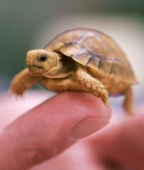 So Cute And Small They Could Fit In The Palms Of Your Hands This List Is For The People Who Became Jelly After Witnes Baby Tortoise Baby Turtles Cute Animals