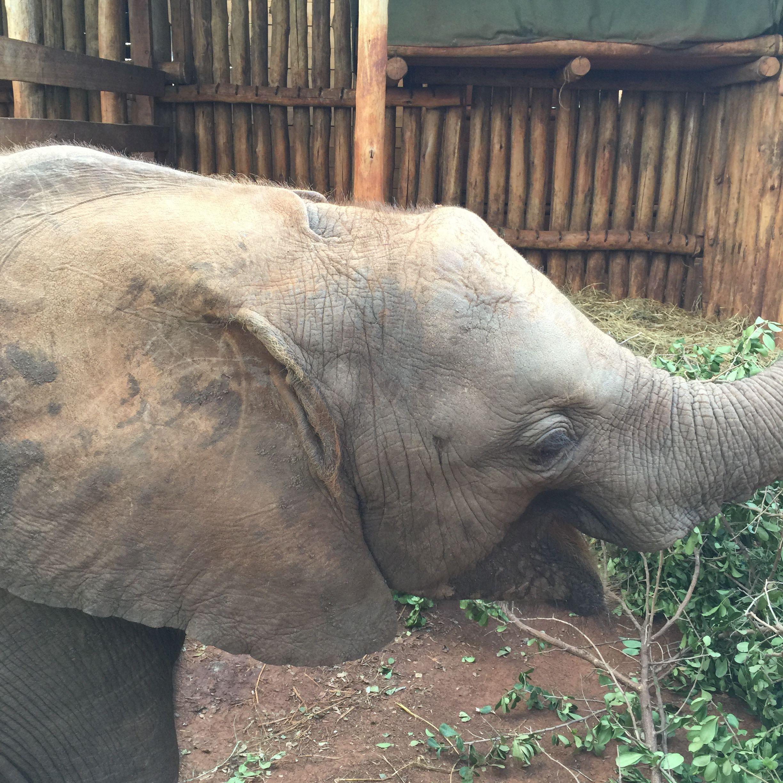 Orphaned Mbegu Female Baby Elephant Born March 2014 Kenya - Adopted