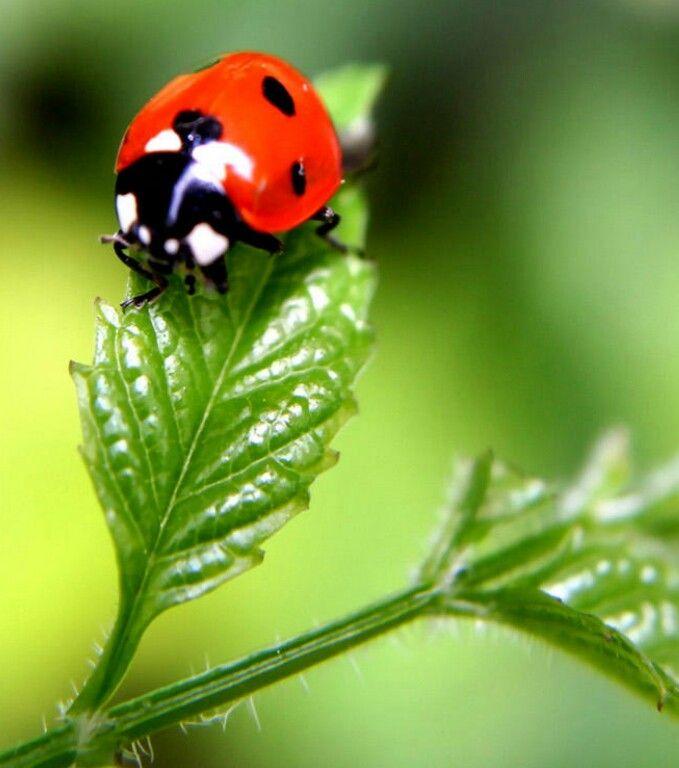 Awesome close up on a ladybugg