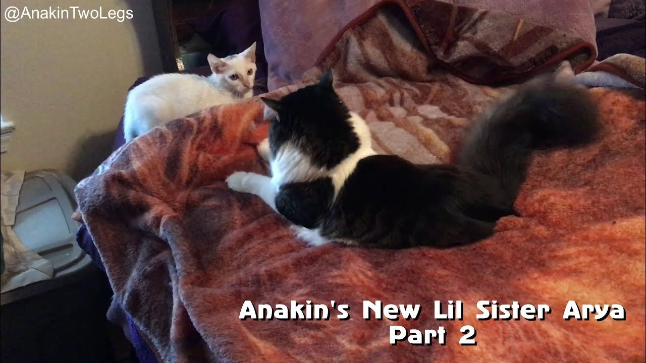 New Video Anakin Two Legged Cat And Little Sister Arya Kitten Playing Https Youtu Be Usnrb9y Yns Anakin S Li Kittens Playing Kitten Rescue Little Sisters