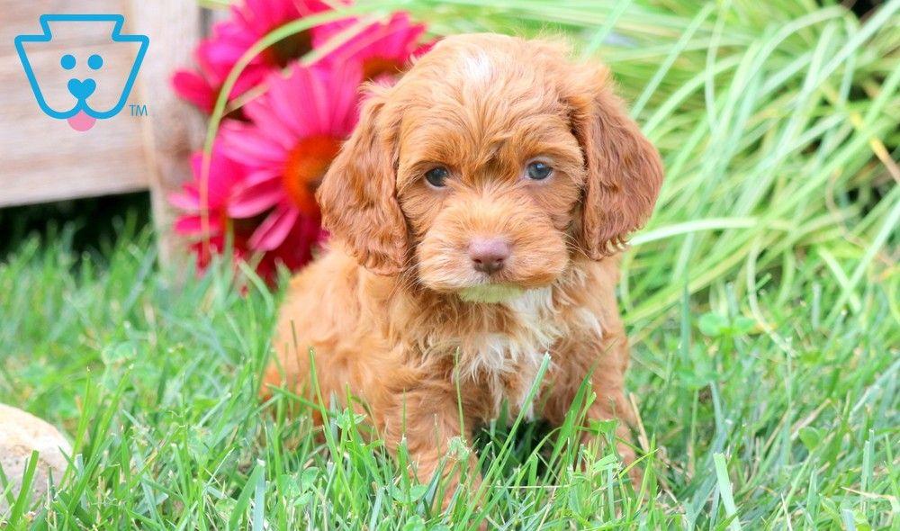 Darla cockapoo puppy for sale keystone puppies in 2020