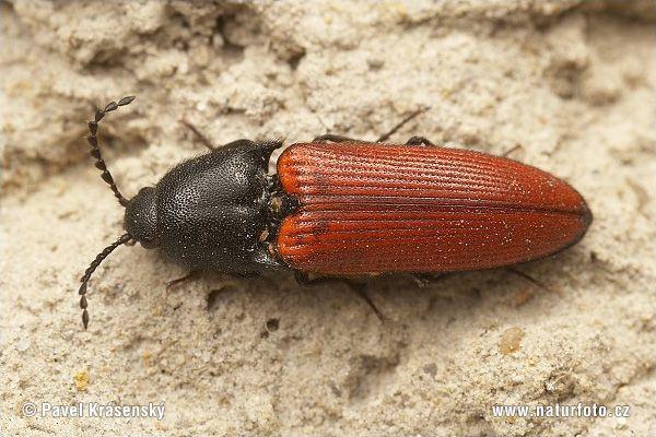 Click beetle | Bugs Galore | Bug images, Beetle, Bugs