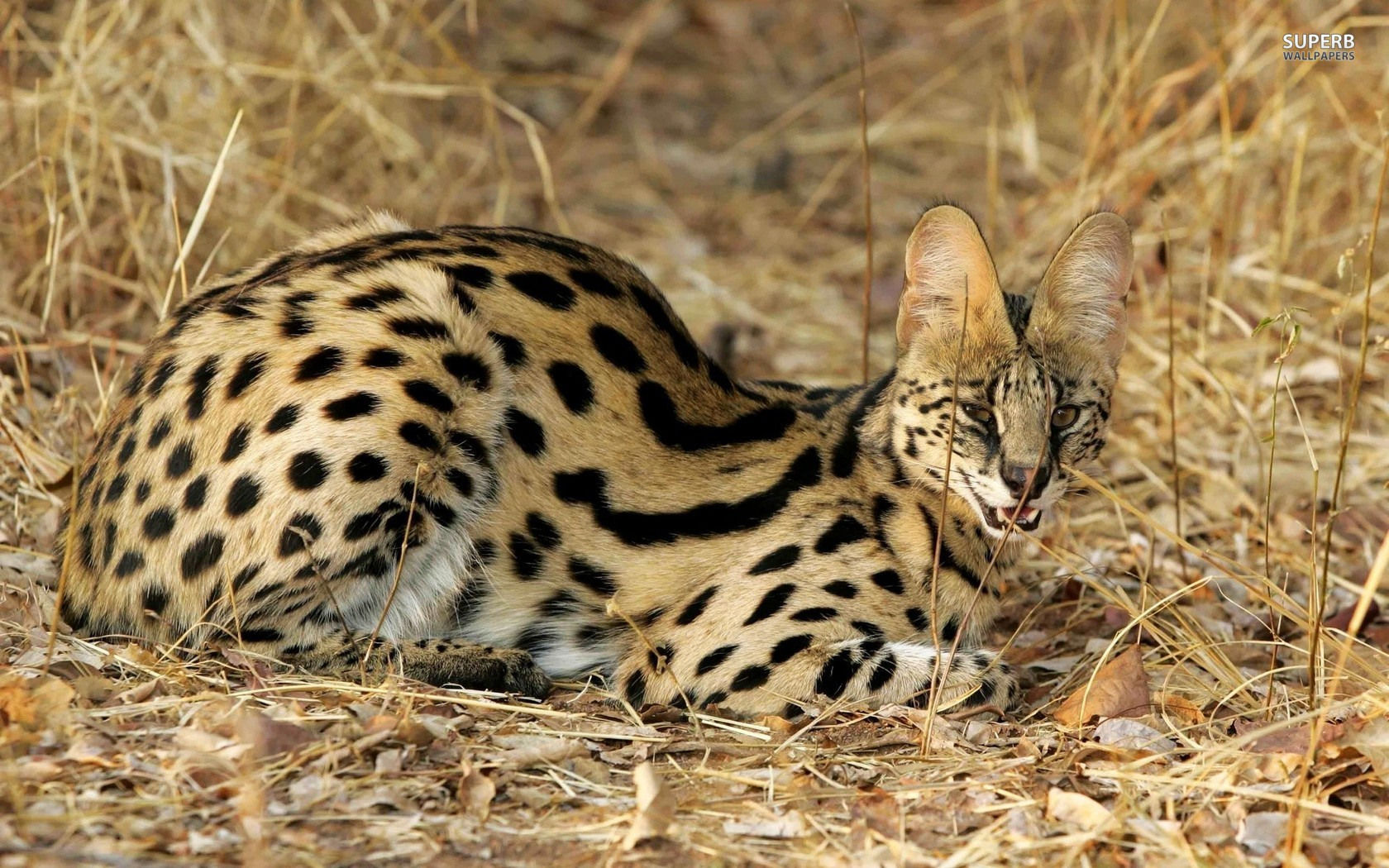 Serval Serval, Serval cats, Wild cats
