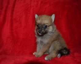 Pomsky Mini Puppies For Sale Lancaster Puppies Mini Puppies Puppies For Sale