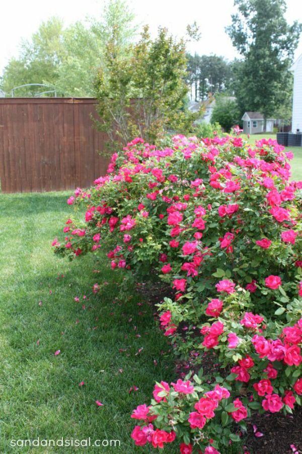 Simple Rose Garden: Brown Thumb Gardener's Guide To Easy Roses