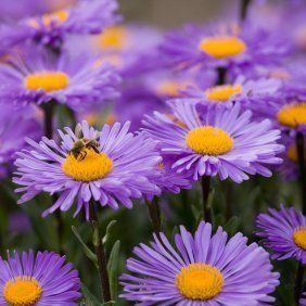 Tips For Growing Asters Planting Flowers Plants Fall Flowers Garden