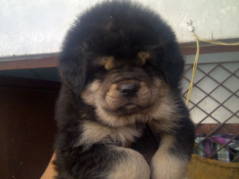 American mastiff puppies for adoption