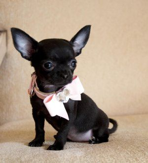Stunning Teacup Black Chihuahua Princess Too Cute Sold Moving To