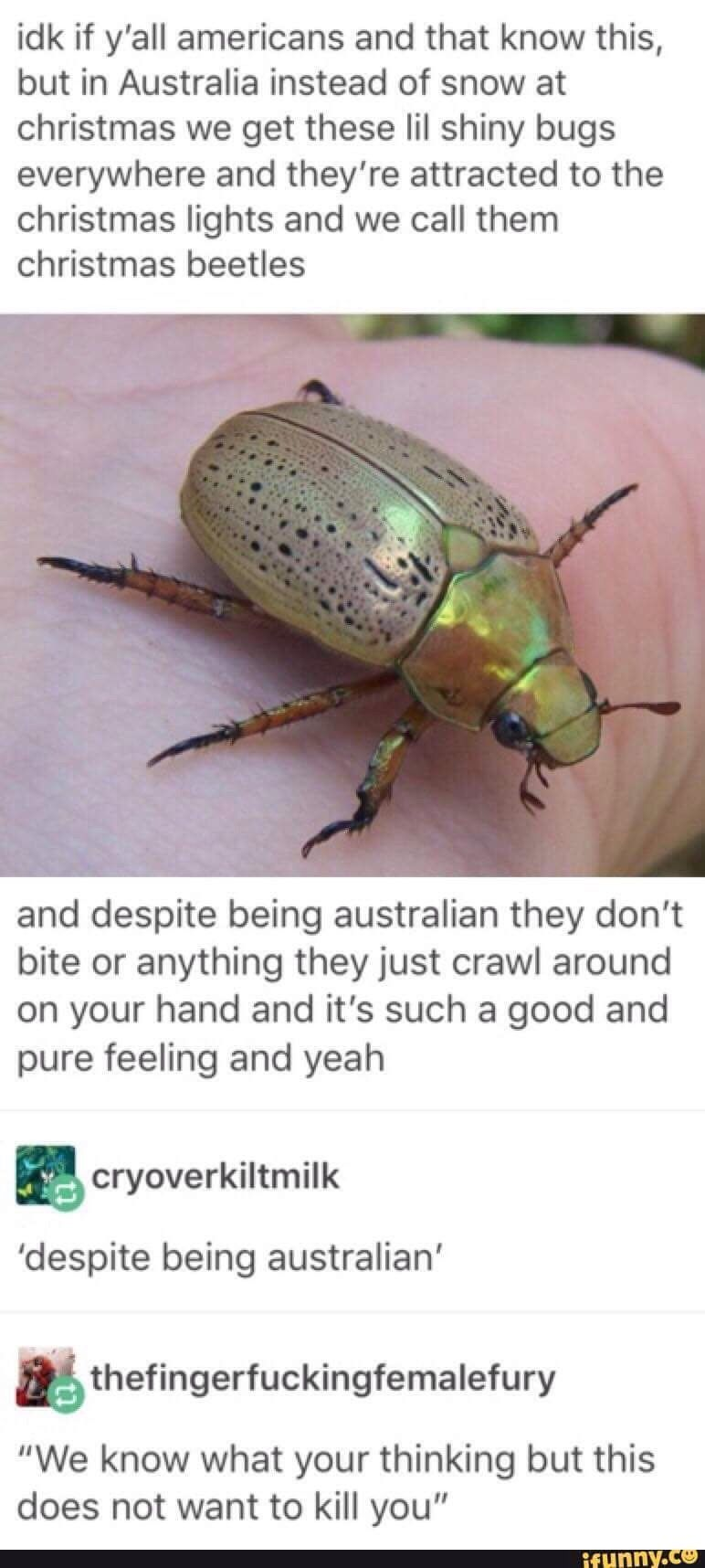 Australian Christmas, a time for shiny bugs who aren\'t poisonous ...