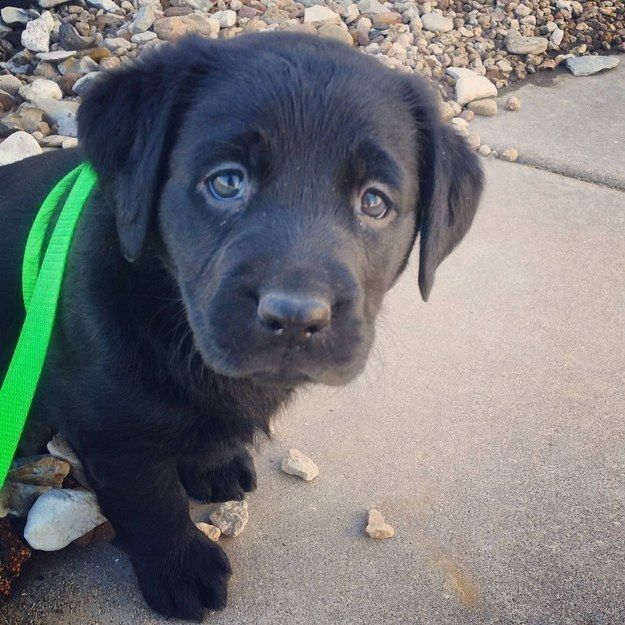 And There S Really Nothing More Adorable Than A Lab Puppy Puppy Dog Eyes Labrador Dog Cute Puppy Breeds
