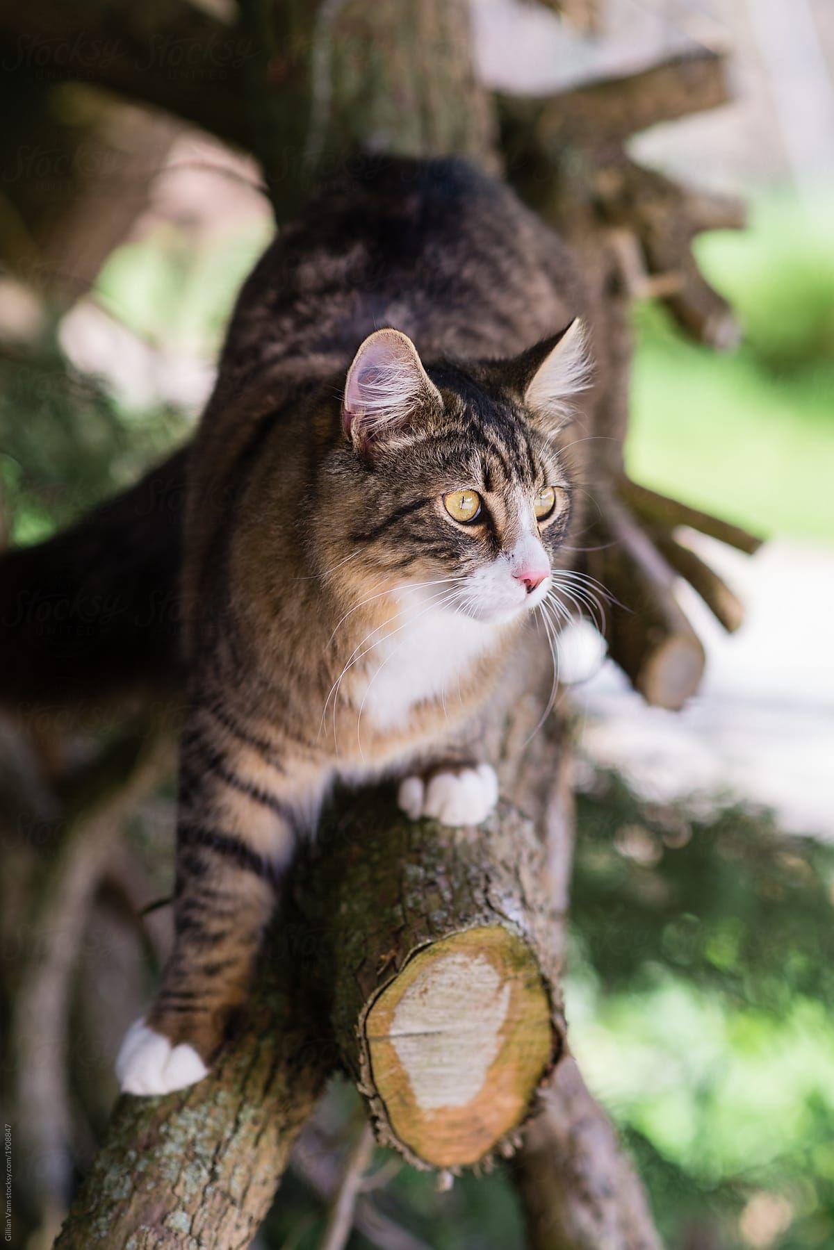 Beautiful Tabby Cat Exploring In Pine Tree Stocksy