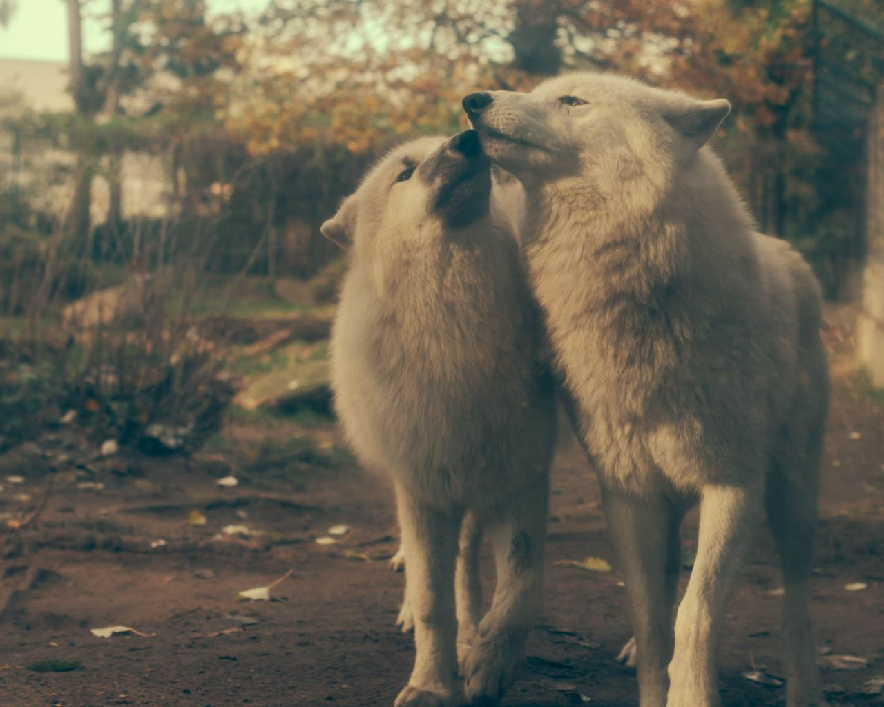 WOLVES, gearism: wolves, berlin zoo ...