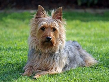 Silky Terrier Vs Yorkshire Terrier Dogs Comparison Critters