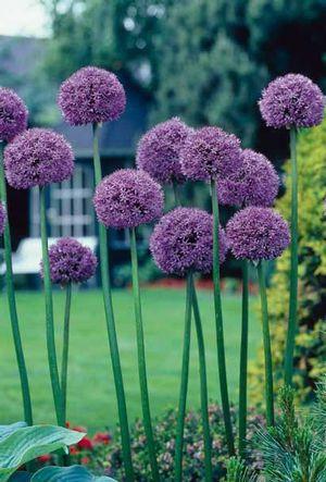Gladiator Allium Or Giant Allium Allium Flowers Bulb Flowers Flower Landscape