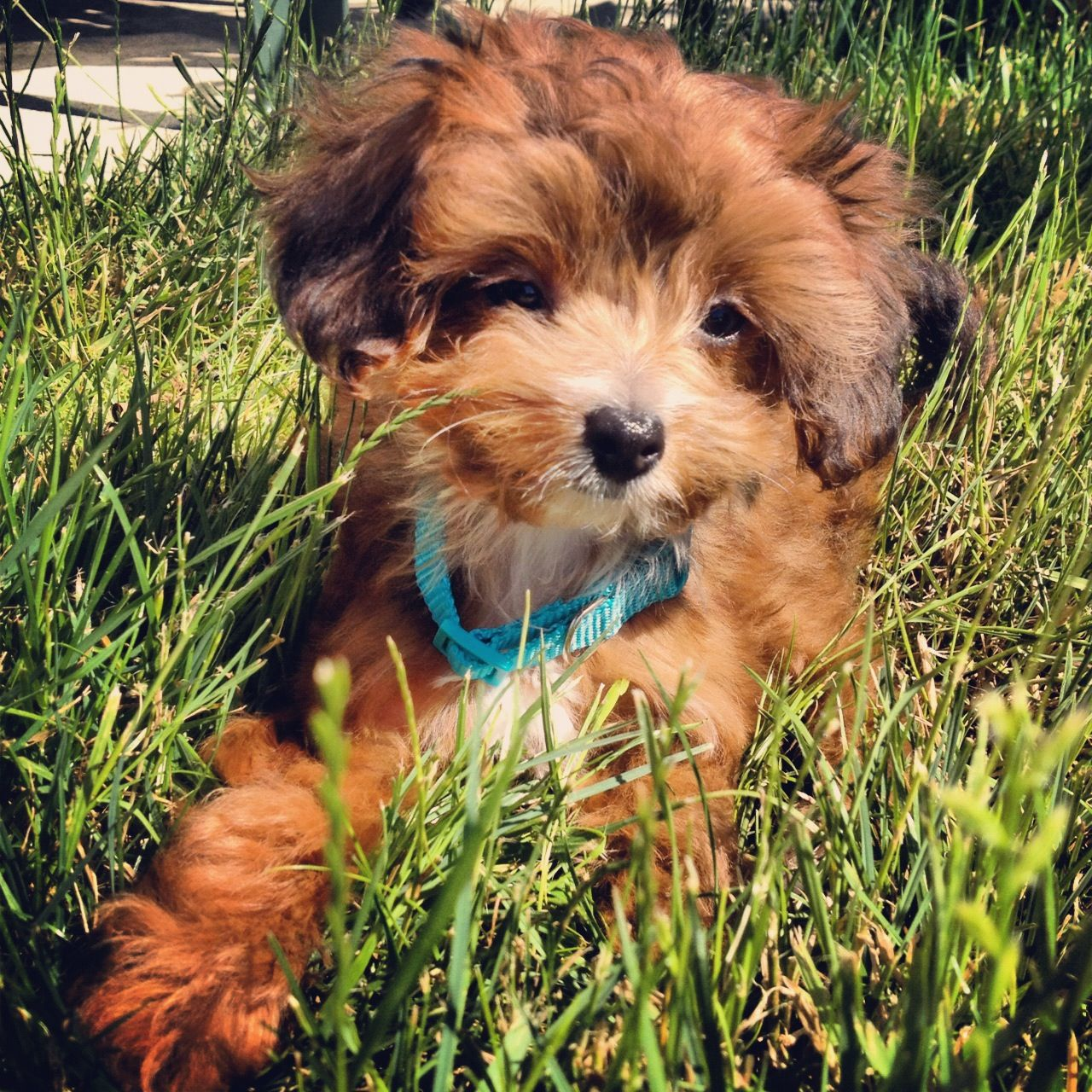 Papipoo Puppies Are A Designer Breed Mixing Papillon Of The Top 5 Most Intellectual Dog Species And A Poodle For Hypo Papillon Dog Cute Dog Mixes Dog Mixes