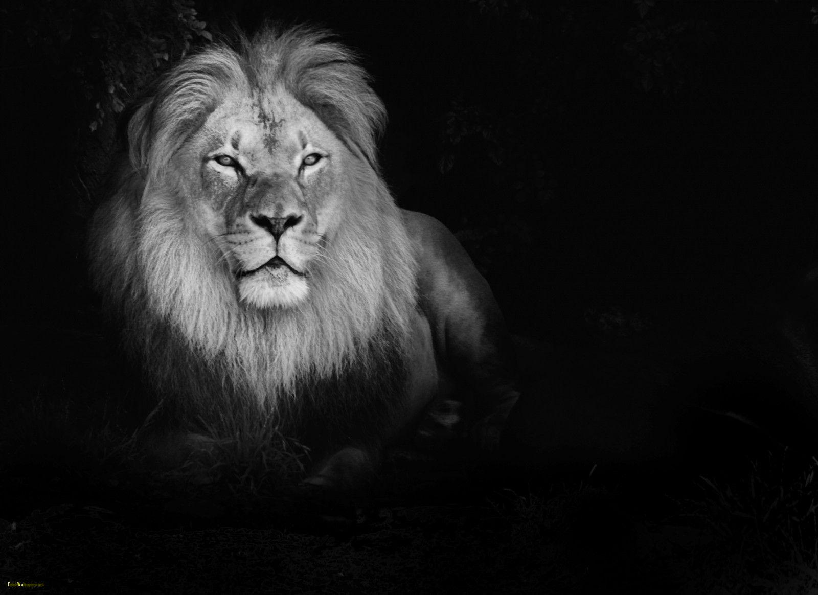White Lion Wallpaper 27 1600 X 1164 Stmed Net White Lion Images Lion Hd Wallpaper Lion Wallpaper