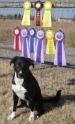 Sid becomes an agility star!!  Adopted in January 2012, Sid is proof that Shelter dogs make amazing pets.
