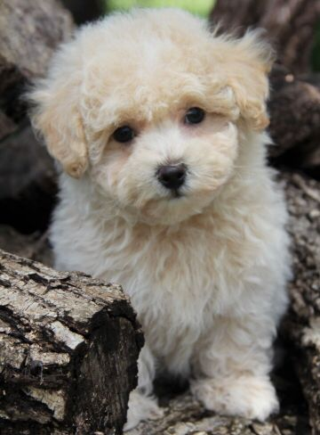 This Is Alvin S Brother Austin He Is Also A Cream Maltipoo For
